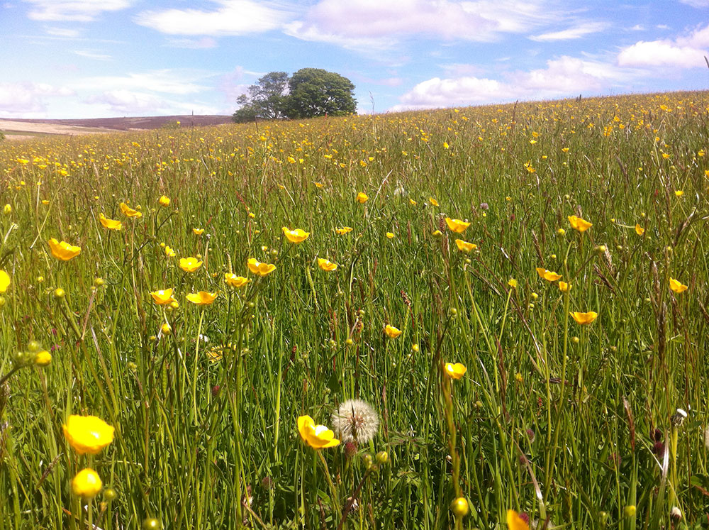 Hay meadow - buttercups